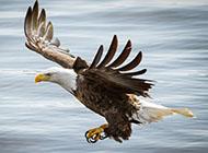 鸟北美白头海雕动物壁纸