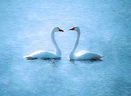 天鹅唯美浪漫爱情背景图片大全