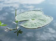池塘里的荷叶背景图片素材