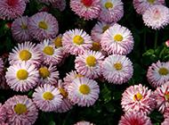 热辣火红雏菊精致花卉壁纸