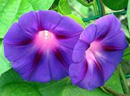 唯美紫色牵牛花清新风景图