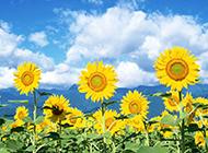 清晨向日葵花海绽放花朵壁纸