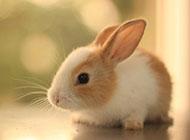 兔子宠物精美电脑桌面壁纸