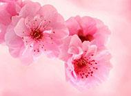 粉色花朵精美ppt背景图片
