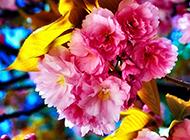 清晨盛開的粉色花卉高清桌面壁紙
