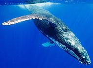 桌面壁纸可爱海洋动物座头鲸