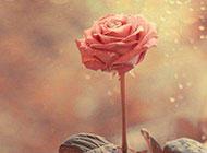 微风中盛开的粉色玫瑰浪漫背景图