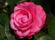 高清茶花花卉精美電腦壁紙