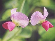 粉色豌豆角花朵壁纸唯美自然