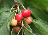 紅櫻桃掛滿枝頭水果美圖秀