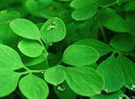 清新自然的綠葉露珠背景圖片