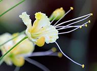 金鳳花近距個性唯美高清美圖