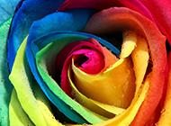 高清晰超大玫瑰经典壁纸