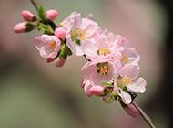 春日淡雅粉色杏花梦幻绽放唯美图片
