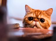 温驯可爱萌猫桌面壁纸图片