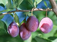 新鮮紅嫩李子水果高清大圖壁紙