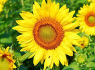 唯美的向日葵花卉壁纸欣赏