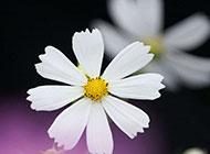 高清白色花卉背景图片