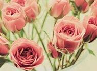 浪漫唯美的玫瑰花卉图片