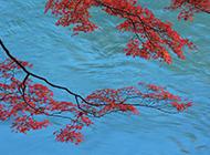 河边的火红枫叶摄影图片