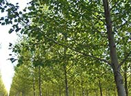 一棵挺拔高大白楊樹圖片