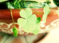 绿色四叶草唯美意境植物图片