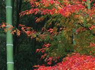 秋日的楓葉與綠竹圖片