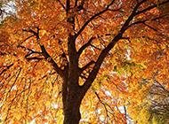 好看的秋天楓樹圖片欣賞
