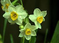 花香浓郁的水仙花超清晰图片