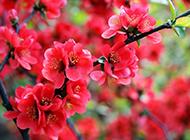 肆意绽放的草本海棠花图片