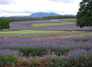 一望无际的紫色薰衣草园