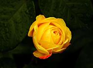 山野中浪漫盛放的黄玫瑰