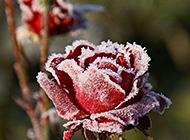 雪中的红玫瑰高清图片