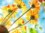 嬌姿悅目的非洲菊唯美圖片