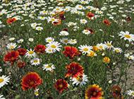一大片雏菊花丛图片