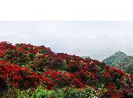 满山殷红似火的杜鹃花图片