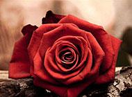 树干上的红玫瑰花朵素材