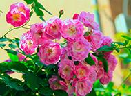 蔷薇花图片高清唯美壁纸精选