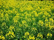 油菜花图片美景金黄耀眼