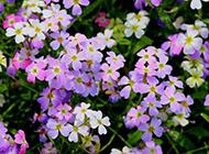 淡紫色唯美浪漫花海图片