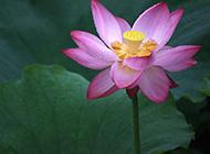 怒放的莲花摄影图片