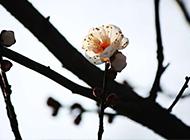 春天盛开的梅花高清图片