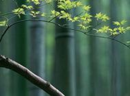 春天的枫叶实拍图片