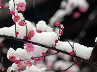 冬季的雪中梅花摄影图片