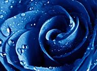 唯美的蓝色玫瑰花图片赏析