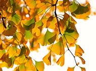 深秋金黄色银杏植物图片