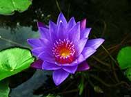 睡莲魅力紫色花瓣图片