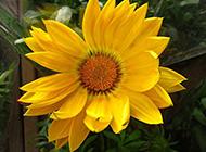 盆栽向日葵高清摄影图片