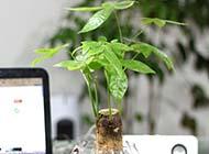 小綠色發財樹盆栽圖片