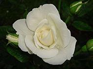 纯粹唯美的白玫瑰高清图片